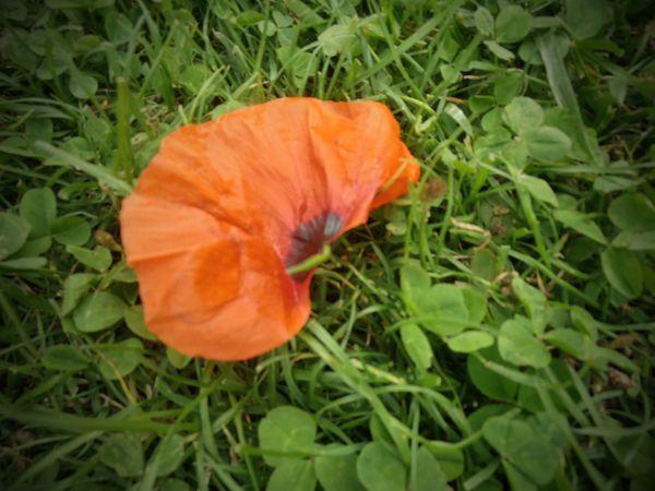 Coquelicots-petale.jpg