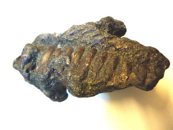 160-Problematicum-1-Miocene-Doel-85mms