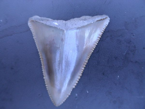 Thierry-Anvers-Pliocene-Carcharodon-carcharias-1A-35mms