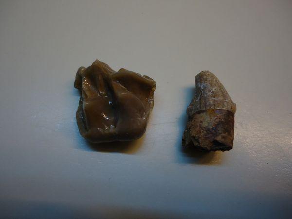 Lophiodon-tapiroides-Lutetien-Aumelas-1A-25mms