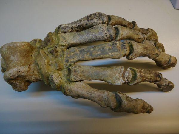 Ursus-spelaeus-main-Pleistocene-Roumanie-1A-27cms