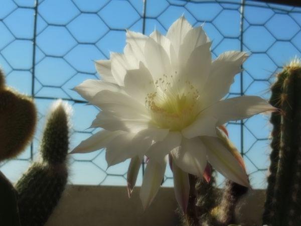 fleur de cactus - Juillet 2013 - Photo 3
