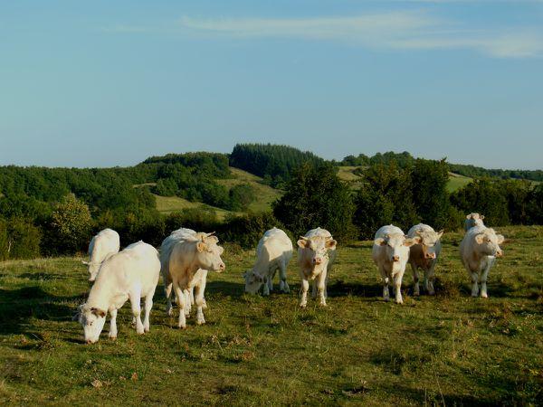 Vaches du 7 septembre - photo 04