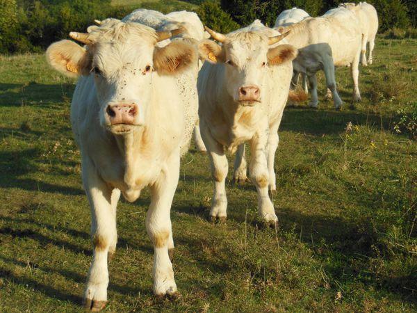 Vaches du 7 septembre - photo 06