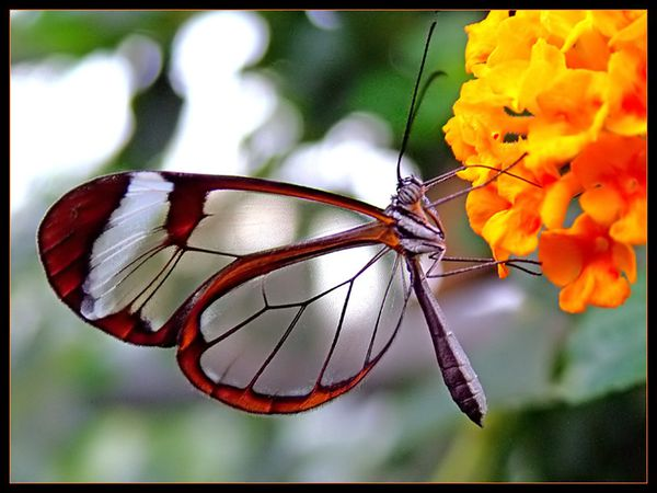 Papillon-transparent-5.jpg
