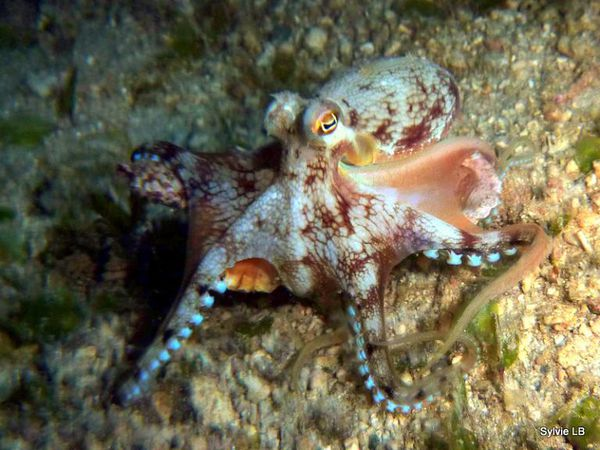 Poulpe-Octopus-sp-Philippines