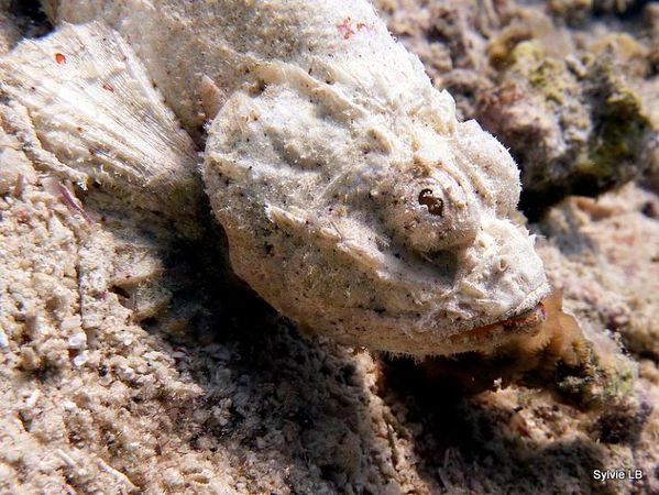 Scorpaenopsis-diabola-Rascasse-diable-03