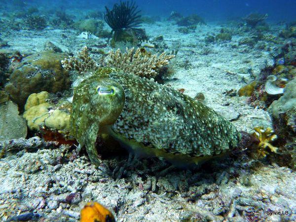 Sepia-aculeata-Cephalopodes