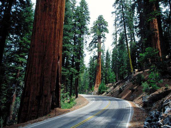 Redwood_yolu_Sequoia_ulusal_Park.jpg