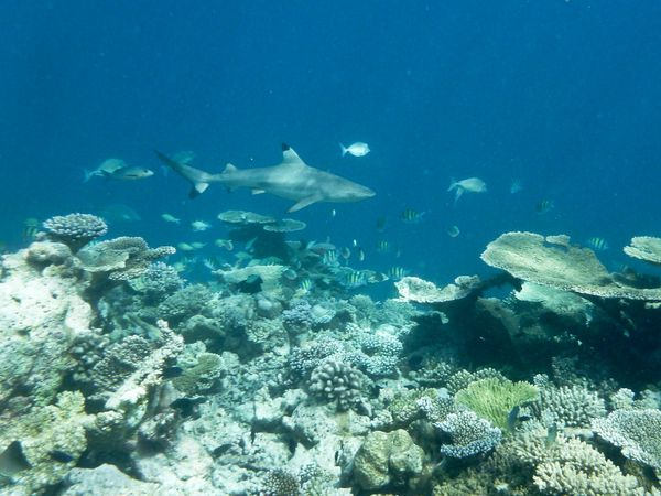 Maldives 4 08 requin01