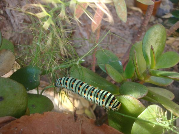 machaon1