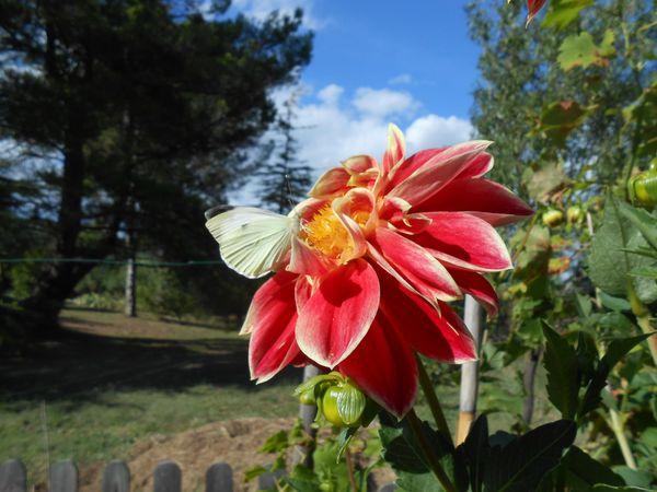 11092013-papillons-sur-zinnias-011.JPG