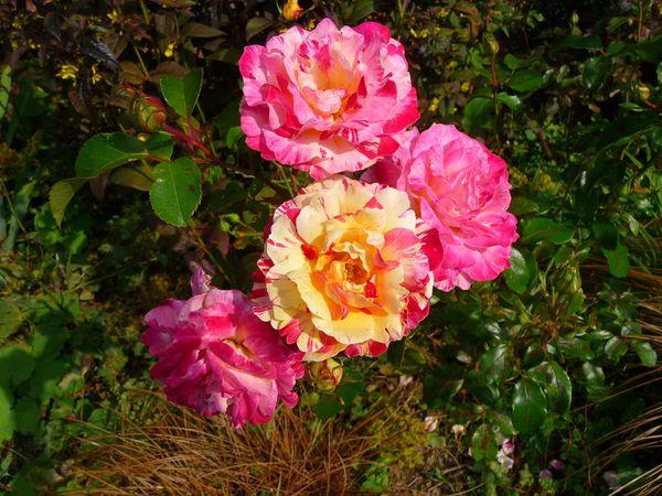 roses (4)