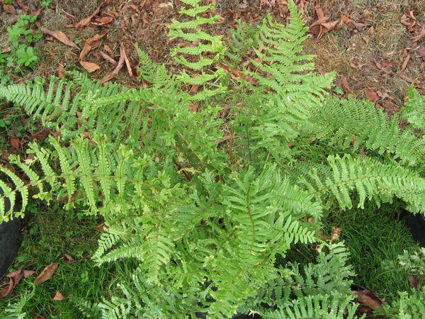 dryopteris-affinis--cristata-.jpg