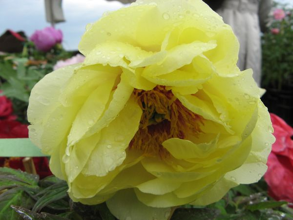 paeonia-high-noon.jpg
