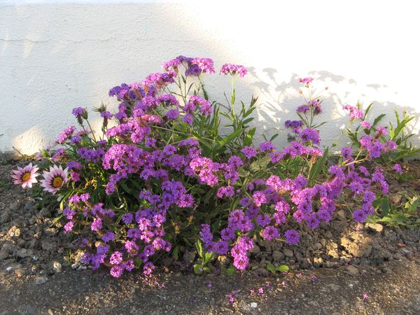 verbena-rigida--purple-.jpg
