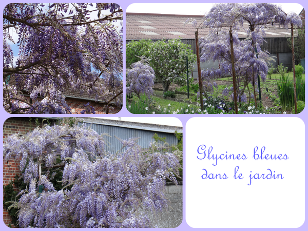 Glycines-bleues-2014.png