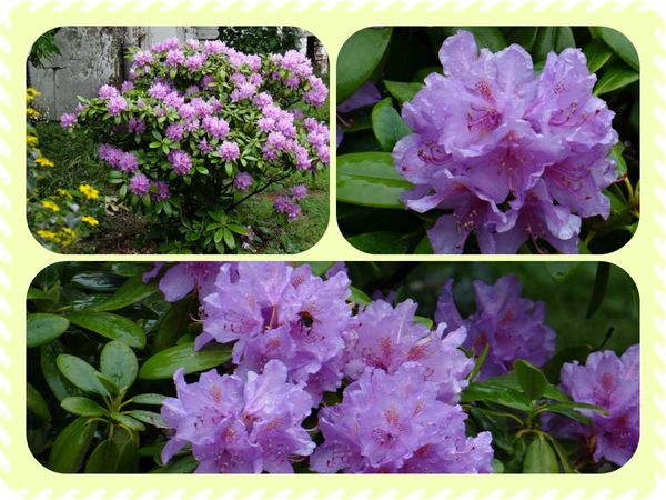 Rhododendron-2014.png