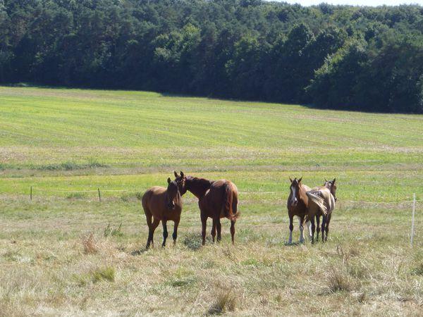 chevaux-chasse-mouche.JPG