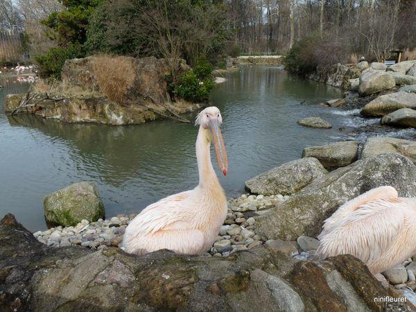 pelican (26)