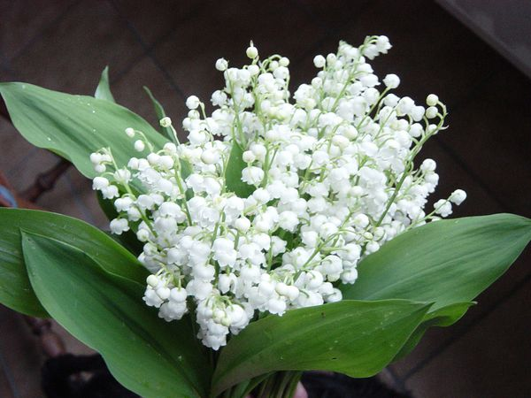 photo-20muguet-1.jpg