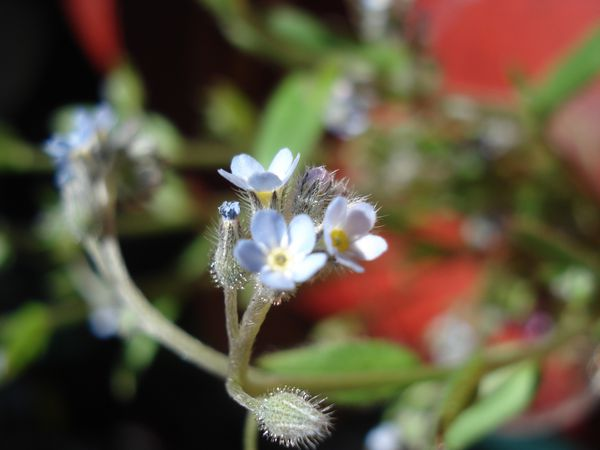 myosotis photo Mamyours