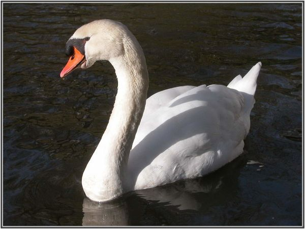 Cygne-001
