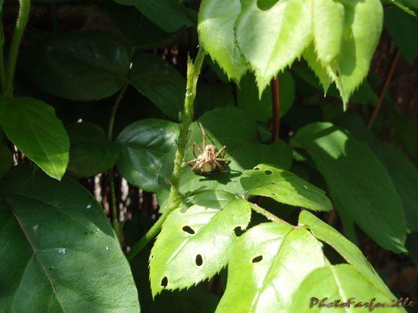 araignee-pucerons-jardin-photofarfouille-6