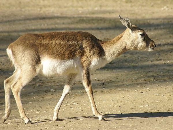 antilope-cervicapra-01
