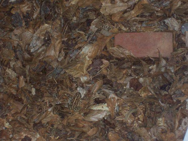 Toad---2--copie-1.JPG