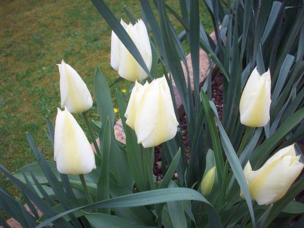 495-Tulipes.JPG