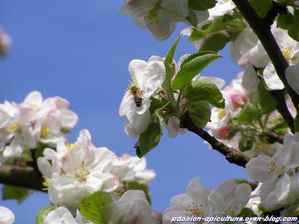 Pommier en fleurs (3)