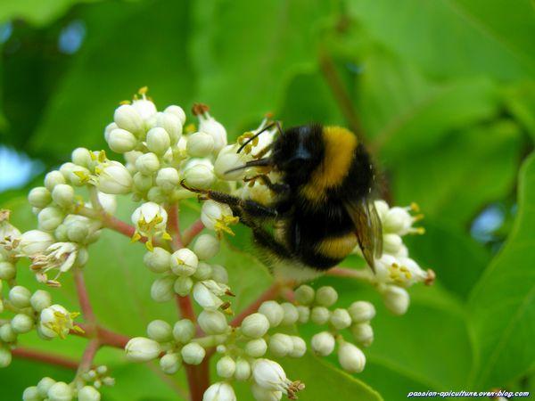 Arbre à miel Tetradium daniellii et abeilles (2)