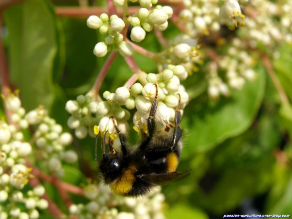 Arbre à miel Tetradium daniellii et abeilles (3)