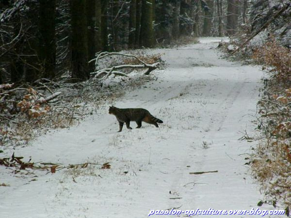 Chat sauvage (4)