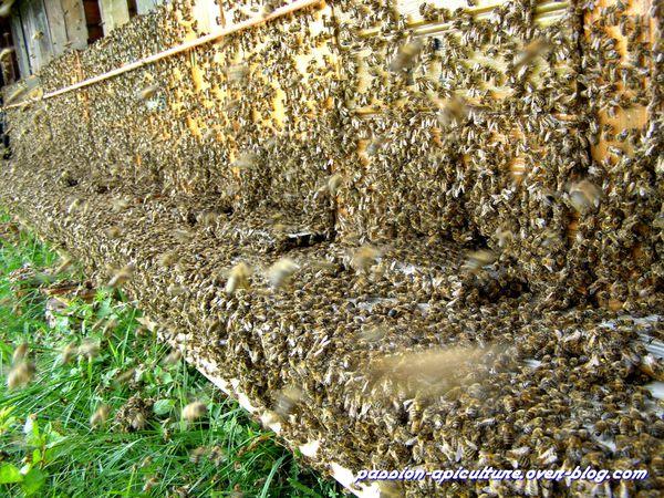 Miellée de châtaignier (12)