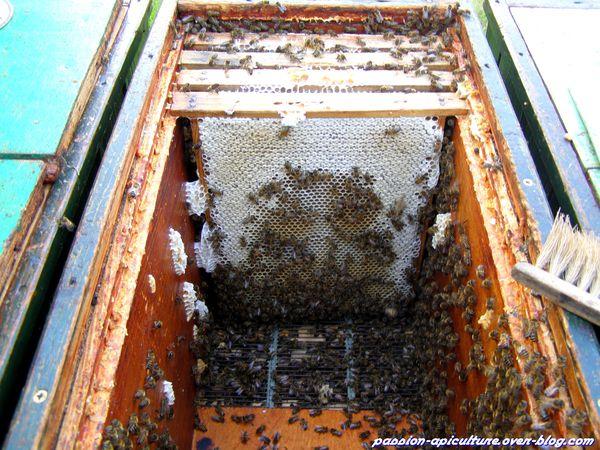 Récolte du miel de châtaignier 2013 (2)