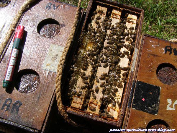 Elevage Reine d'abeille