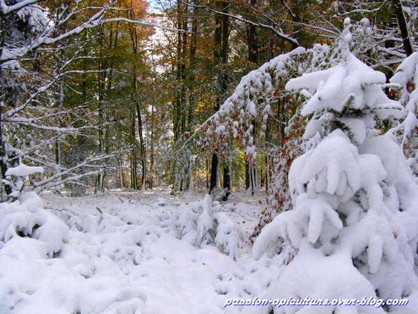 Forêt d'automne enneiger (10)