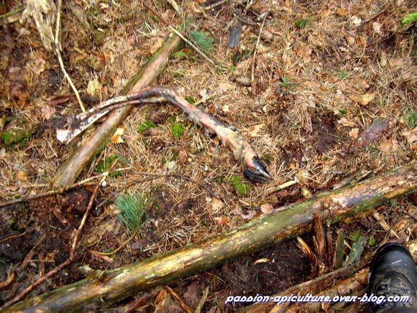 Bois de cerf 11 mars (3)