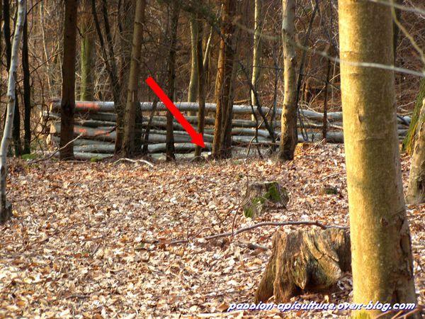 Mue de cerf 25 mars 2012