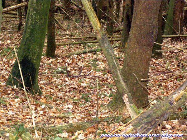 Mues de cerfs (1)