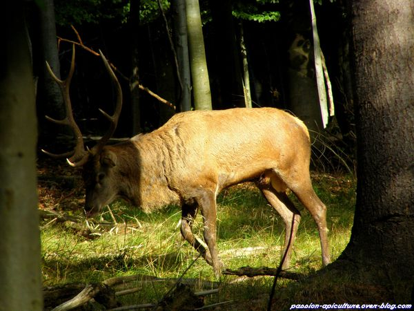 Le cerf (5)