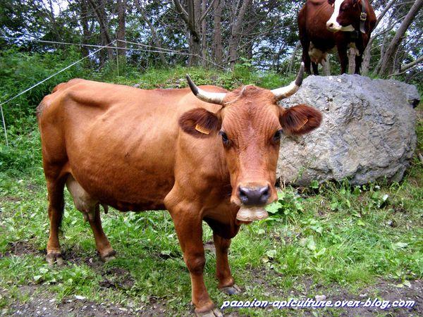Traite des vaches (1)