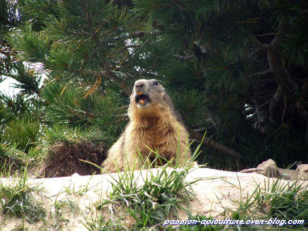 Marmotte (10)
