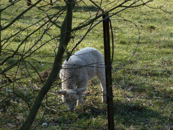 moutons-052.JPG