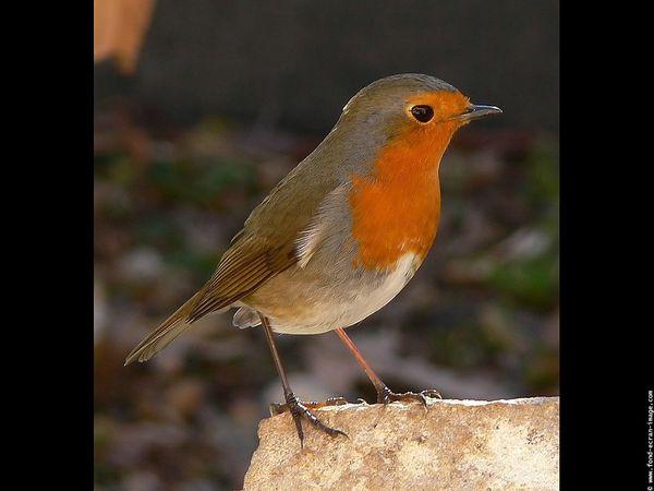 oiseau-fond-ecran-rouge-gorge-21.jpg