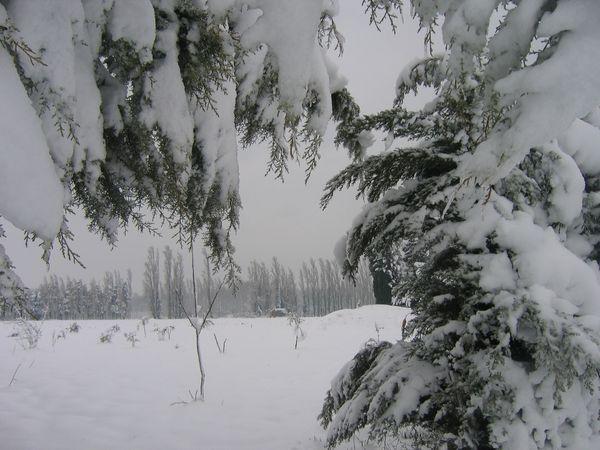 sapin et arbres dépouillés