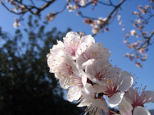 12-Fleurs-d-amandiers-c-est-le-printemps---.jpg