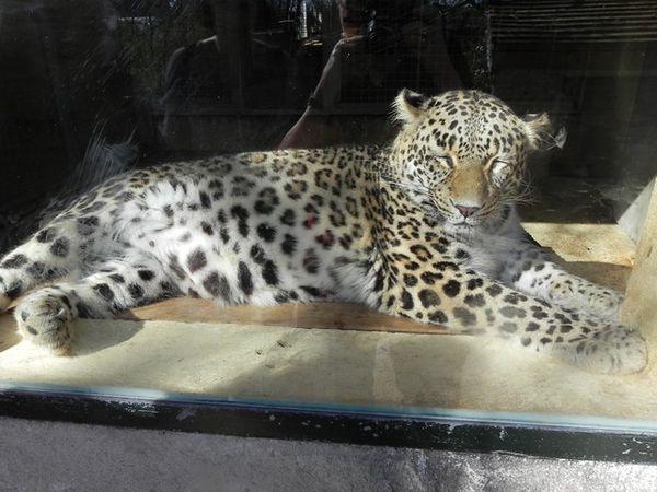 Beauval - jaguar